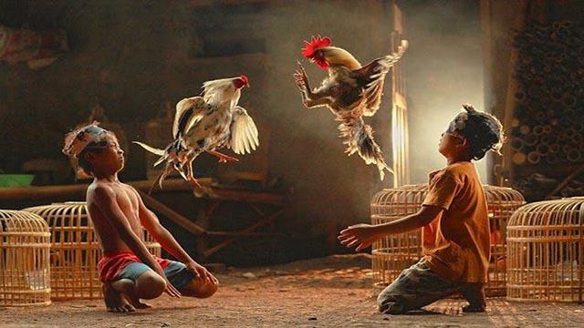Cara Main Sabung Ayam Online